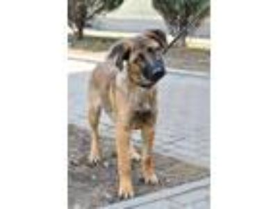 Adopt Maks a German Shepherd Dog