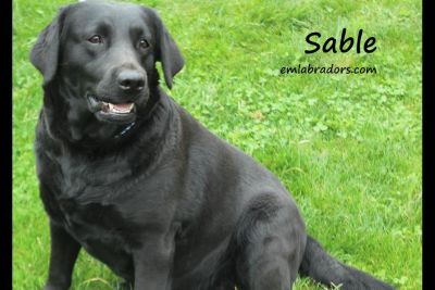 Endless Mt Labrador Retriever Puppies Available Labor Day!