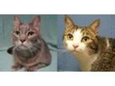 Adopt Karley a Domestic Short Hair