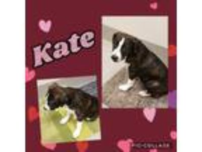 Adopt Kate a Black Labrador Retriever dog in Dickson, TN (25365501)