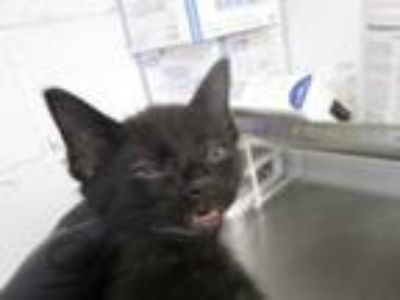 Adopt 76270 a Domestic Short Hair
