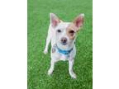 Adopt Sprout a Jack Russell Terrier