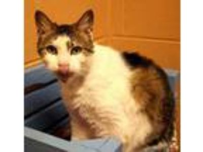 Adopt Mr. Kitty a White Domestic Shorthair / Domestic Shorthair / Mixed cat in