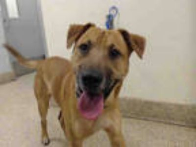 Adopt ROLO a Tan/Yellow/Fawn - with Black Labrador Retriever / Mixed dog in