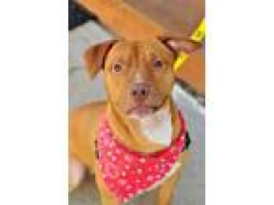 Adopt Jesse a Staffordshire Bull Terrier, Boxer
