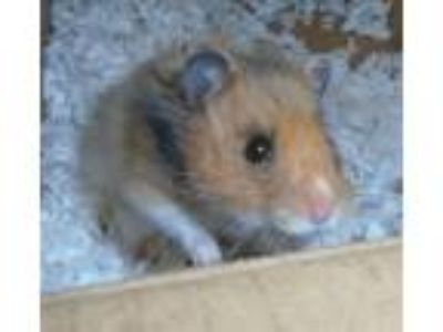 Adopt Hattie a Hamster small animal in Raleigh, NC (25770326)