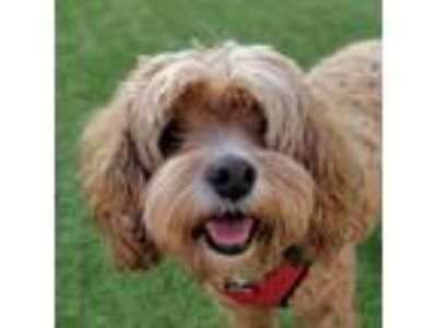 Adopt Neko a Brown/Chocolate Poodle (Miniature) / Cocker Spaniel / Mixed dog in