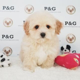 Maltese-Poodle (Toy) Mix PUPPY FOR SALE ADN-105624 - MALTIPOO ERIC MALE