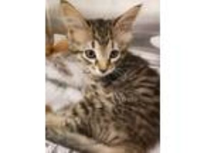 Adopt Pepper a Tan or Fawn Domestic Longhair / Domestic Shorthair / Mixed cat in