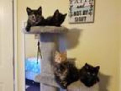 Adopt Kittens - Courtesy post a Domestic Short Hair
