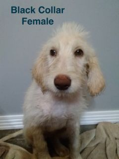 Labradoodle PUPPY FOR SALE ADN-104150 - Labradoodle F1B Female