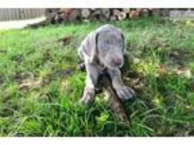 Adorable AKC Weimaraner Puppies