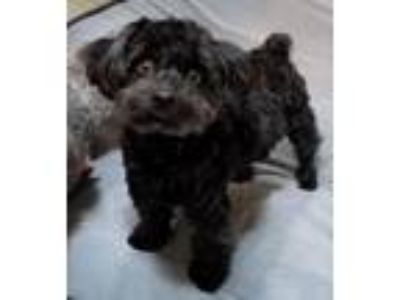 Adopt Priscilla a Poodle, Yorkshire Terrier