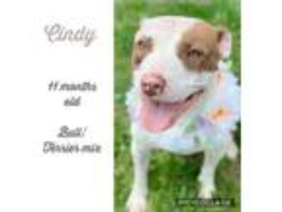 Adopt Cindy a Pit Bull Terrier, Mixed Breed