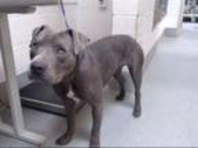 Adopt FISH a Pit Bull Terrier, Mixed Breed