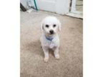 Adopt Winston a White Toy Poodle / Mixed dog in Vallejo, CA (25531804)