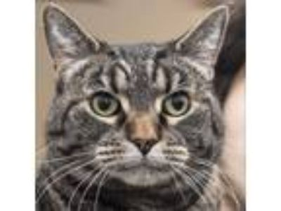 Adopt Frenchy a Brown or Chocolate Domestic Shorthair cat in Middletown
