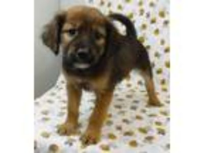 Adopt Levi a Tan/Yellow/Fawn Spaniel (Unknown Type) / Beagle / Mixed dog in