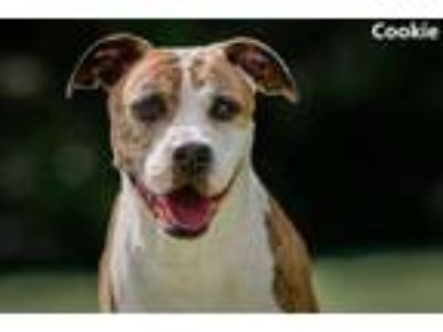 Adopt Cookie a Pit Bull Terrier, Mixed Breed