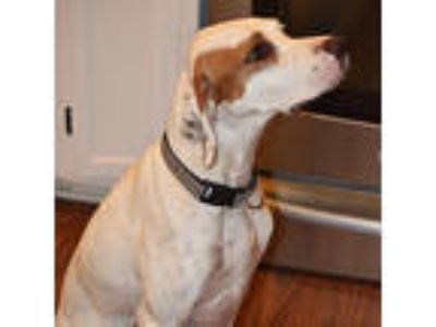 Adopt Saffron a English Pointer, English Setter