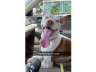 Adopt Layla a Pit Bull Terrier, Terrier