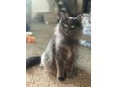 Adopt Boo a Gray or Blue Russian Blue (long coat) cat in Anchorage