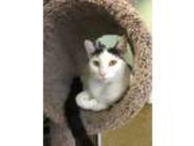 Adopt Ramona a Black & White or Tuxedo Domestic Shorthair (short coat) cat in