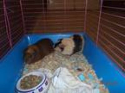 Adopt FAWNA a Brown or Chocolate Guinea Pig / Mixed small animal in Sanford