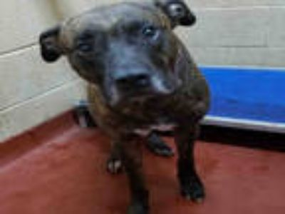 Adopt BRON a Brown/Chocolate American Pit Bull Terrier / Mixed dog in Atlanta