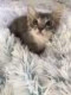 Kika Domestic Medium Hair - Maine Coon Cat