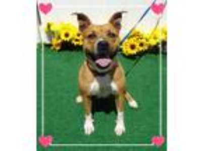 Adopt FRIEDA a Pit Bull Terrier, American Staffordshire Terrier