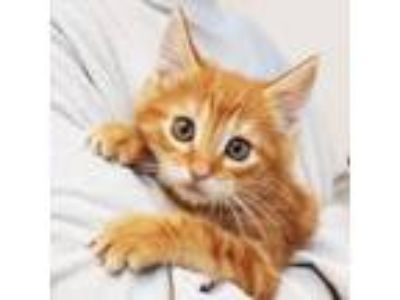 Adopt Julius a Orange or Red Domestic Shorthair / Domestic Shorthair / Mixed cat