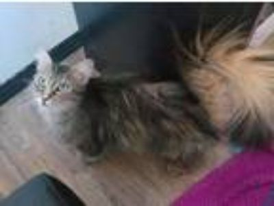 Adopt Penny a Gray, Blue or Silver Tabby Maine Coon (long coat) cat in Los