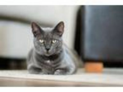 Adopt Miranda Bailey a Domestic Short Hair