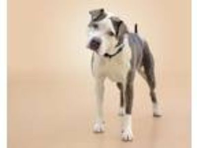 Adopt PENELOPE a Pit Bull Terrier