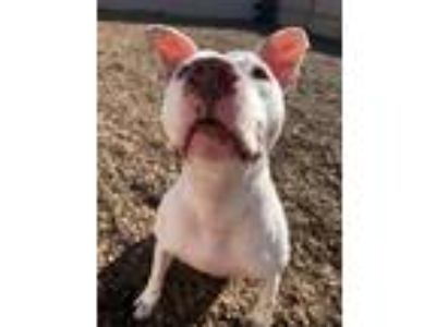 Adopt Blanco a Pit Bull Terrier