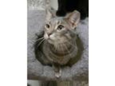 Adopt Enzo a Gray or Blue Domestic Shorthair / Domestic Shorthair / Mixed cat in