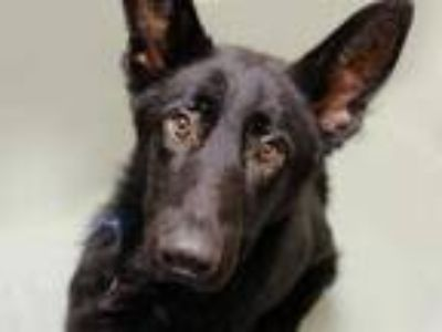 Adopt JEFF a Black German Shepherd Dog / Mixed dog in Denver, CO (25906382)