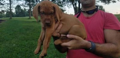 Vizsla PUPPY FOR SALE ADN-89046 - Vizsla Puppies