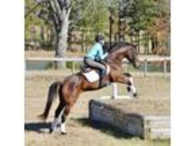 Fun and Fancy Warmblood in Smaller Package