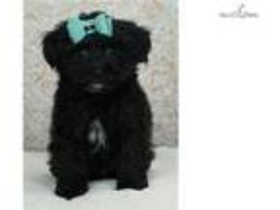 Squiggles Adorable Morkie puppy ready to go