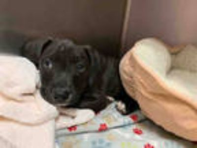 Adopt LOUIE* a Black - with White Hound (Unknown Type) / Mixed dog in Santa