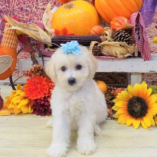 Cantel PUPPY FOR SALE ADN-97073 - Poochon Puppy