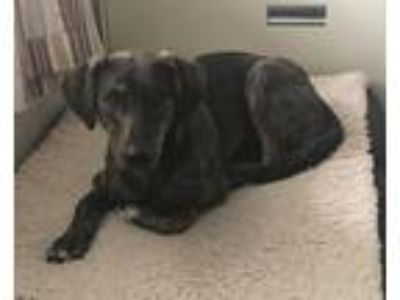 Adopt Mary Kate a Plott Hound / Labrador Retriever / Mixed dog in New Braunfels