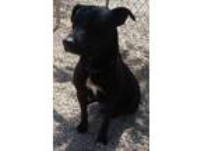 Adopt Simone a Labrador Retriever, Collie