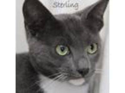 Adopt Sterling a Russian Blue, Domestic Short Hair