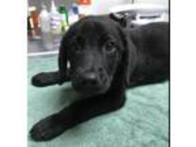 Adopt Fredrick a Labrador Retriever / Shepherd (Unknown Type) / Mixed dog in