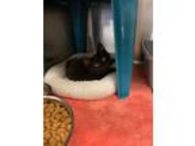 Adopt Jelly a All Black Domestic Shorthair (short coat) cat in Kennesaw