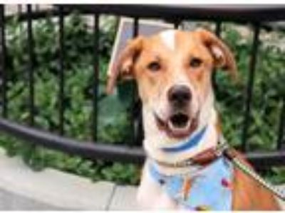 Adopt Simba a Tan/Yellow/Fawn Mixed Breed (Large) / Mixed dog in Chicago
