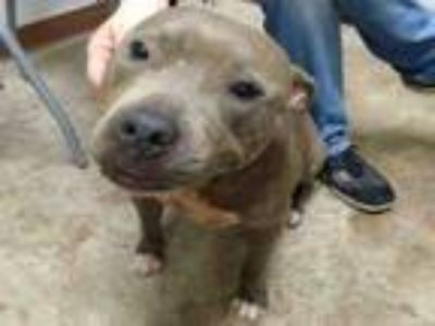 Adopt AMBROSIA a Pit Bull Terrier, Mixed Breed